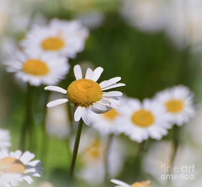 Photograph - Daisy Dreaming by Kerri Farley