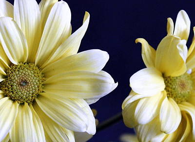 Photograph - Daisy Duo by Faith Williams