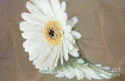 Photograph - Daisy by Eden Baed