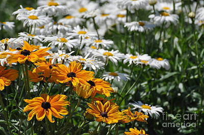 Daisy Fields Art Print
