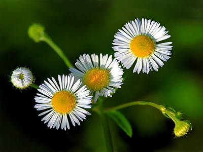 Photograph - Daisy Fleabane by Carolyn Derstine