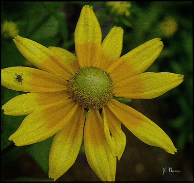 Photograph - Daisy  by James C Thomas