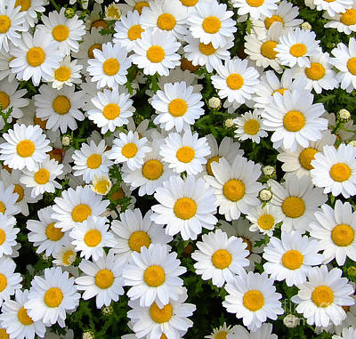 Photograph - Daisy Flower 3 by Andrea Anderegg