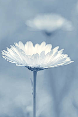 Photograph - Daisy Flower In Pose Baby Blue by Jennie Marie Schell