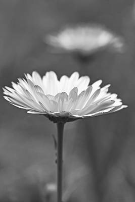 Photograph - Daisy Flower In Pose Monochrome by Jennie Marie Schell