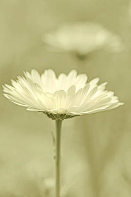 Photograph - Daisy Flower In Pose Olive Green by Jennie Marie Schell