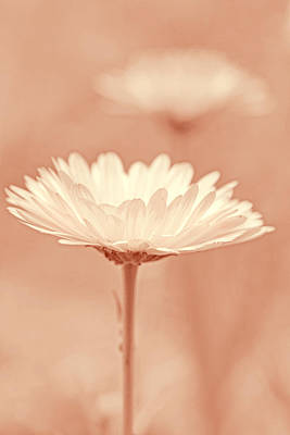 Daisy Flower In Pose Peach Pastel Art Print by Jennie Marie Schell