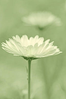Photograph - Daisy Flower In Pose Soft Green by Jennie Marie Schell