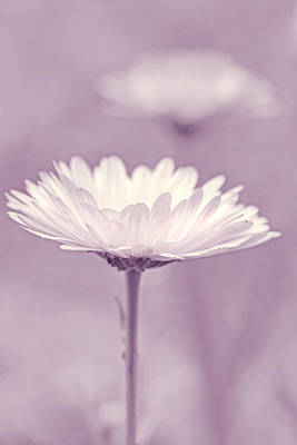 Photograph - Daisy Flower In Pose Violet by Jennie Marie Schell
