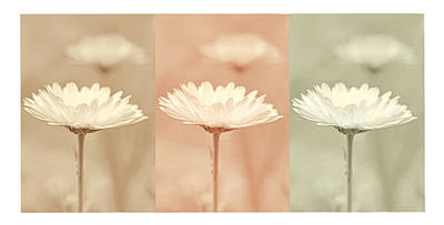 Photograph - Daisy Flowers All In A Row by Jennie Marie Schell
