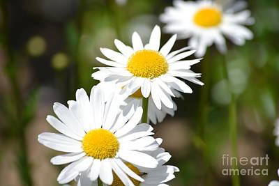 Photograph - Daisy Flowers by P S