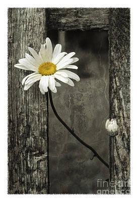 Photograph - Daisy - Fs000357-a by Daniel Dempster