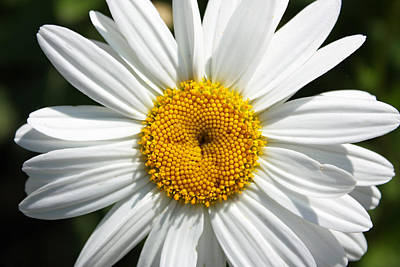 Photograph - Daisy by Gerry Bates