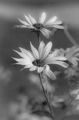 Photograph - Daisy Glory by Tex Wantsmore