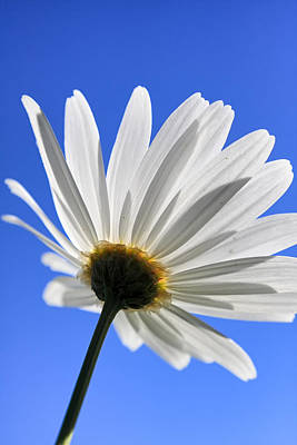 Photograph - Daisy by Goyo Ambrosio