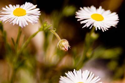 Photograph - Daisy In A Field by Steve Thompson
