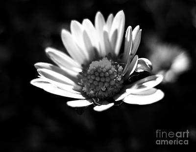 Photograph - Daisy In Black And White by Nina Ficur Feenan