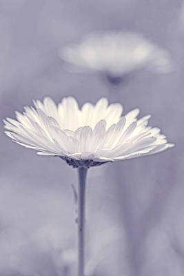 Photograph - Daisy In Pose Lavender by Jennie Marie Schell