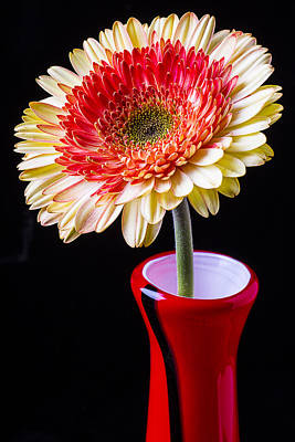 Gerbera Daisy Photograph - Daisy In Red Vase by Garry Gay