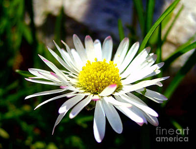 Photograph - Daisy In Spring by Nina Ficur Feenan