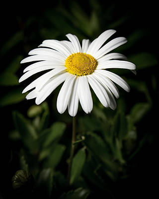 Photograph - Daisy In The Garden by Ron Pate