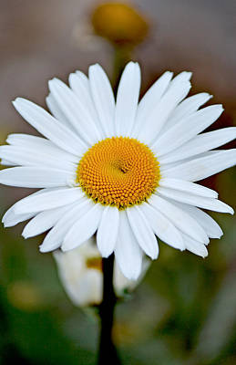 Daisy In The Morning Art Print by Andrew Chianese