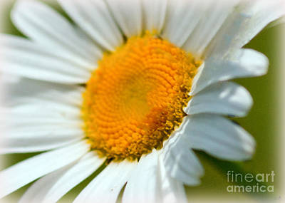 Photograph - Daisy In The Sun by Sandra Clark