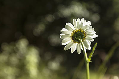 Photograph - Daisy Light by Belinda Greb