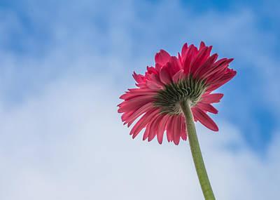 Gerber Daisy Photograph - Daisy Meets Sky by April Reppucci