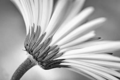 Photograph - Daisy Noir by Christi Kraft