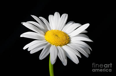 Photograph - Daisy On Black 1 by Sarah Schroder