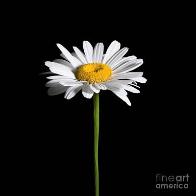 Photograph - Daisy On Black by Cindy Singleton
