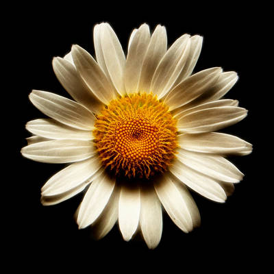 Photograph - Daisy On Black Square Fractal by Weston Westmoreland