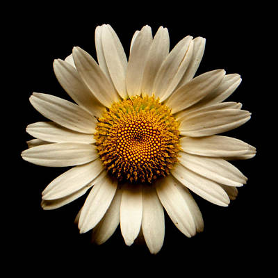 Photograph - Daisy On Black Square by Weston Westmoreland