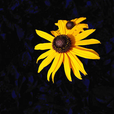 Daisy On Dark Blue Art Print