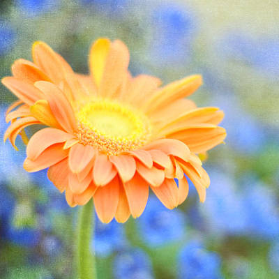 Photograph - Daisy Orange by Cathie Richardson