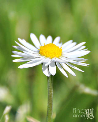 Photograph - Daisy Over The Likes Of You by Mindy Bench