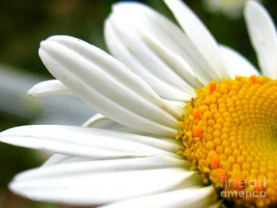 Art Print featuring the photograph Daisy by Patti Whitten