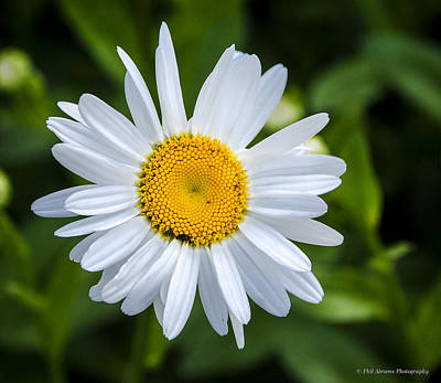 Art Print featuring the photograph Daisy by Phil Abrams
