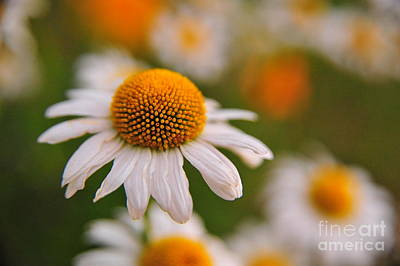 Daisy Power Art Print by Terri Gostola