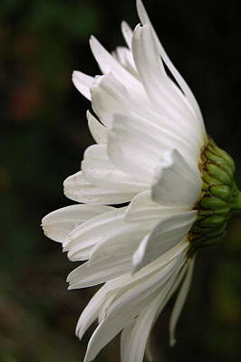 Photograph - Daisy Profile by Tamyra Crossley