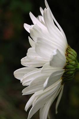 Photograph - Daisy Profile by Tamyra Crossley