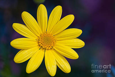 Photograph - Daisy by Randy Wood