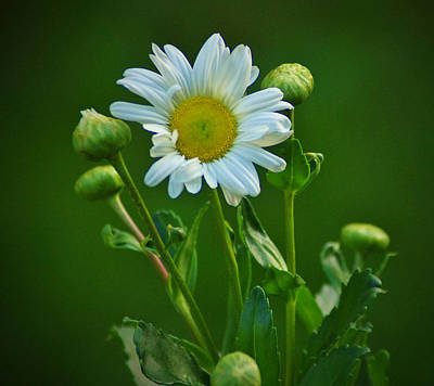 Photograph - Daisy by Robert Geary