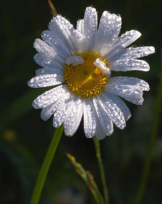 Photograph - Daisy by Scott Gould