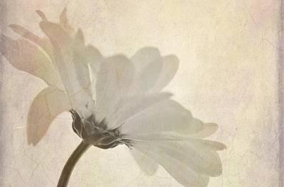 Photograph - Daisy Simplicity by Diane Alexander