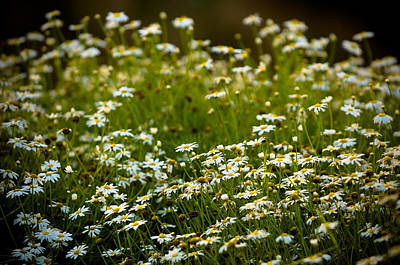 Photograph - Daisy Sunrise by Sebastian Musial
