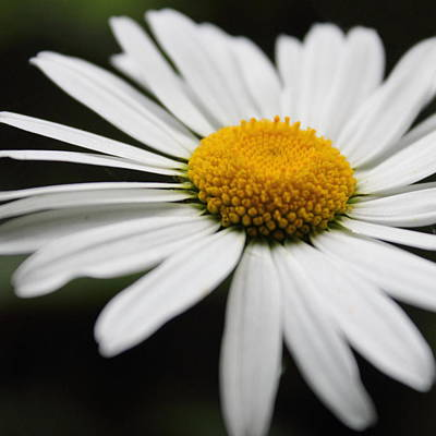 Photograph - Daisy by Theresa Selley