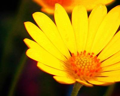Photograph - Daisy by Timothy Bulone