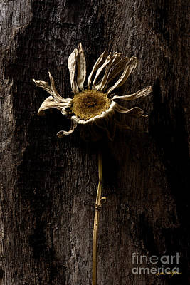 Photograph - Daisy Two  2010 by Matthew Turlington